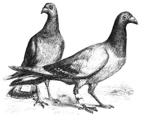 Pigeon Messengers No More